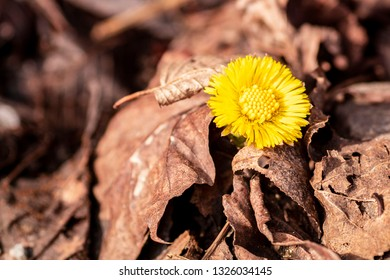 Coltsfoot, medicinal herb, flower in spring .Yellow flower grew from under the stone in early spring,early spring blooms of coltsfoot signaling warmer weather is on the way.