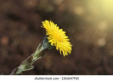 Coltsfoot, medicinal herb, flower in spring .Yellow flower in early spring
