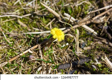 Coltsfoot on a blurred background