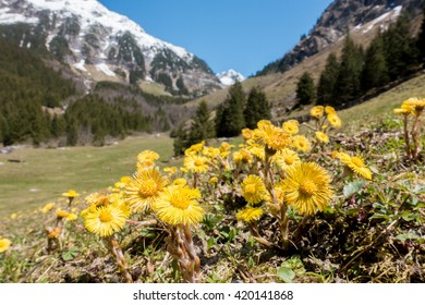 Coltsfoot on a mountain meadow