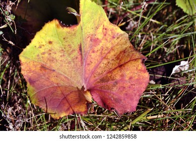 Coltsfoot plant red-yellow leaf, on grass background, top view