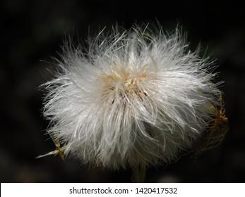 Coltsfoot seed head closeup, Tussilago farfara