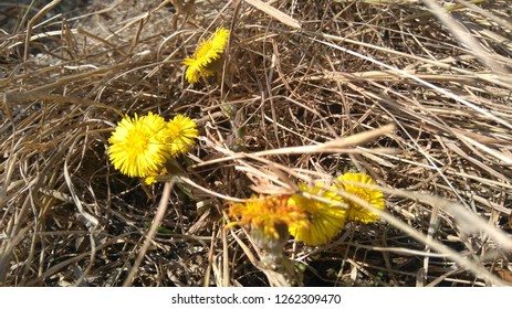 coltsfoot spring flowers