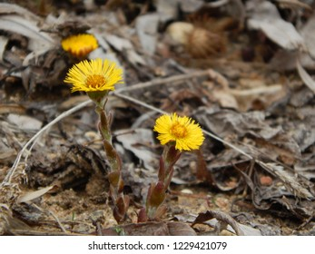 Coltsfoot in spring. Nature photography