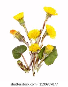Coltsfoot for tea