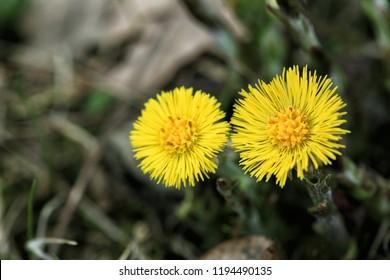 Coltsfoot (Tussilago farfara) healing plant and herbal medicine wildflower
