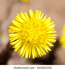 coltsfoot yellow flower Sun like closeup top view on blurry background