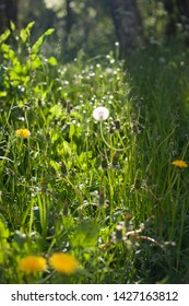 coltsfoots (tussilago farfara) in a sunny meadow