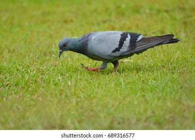 Columba livia bird on grass