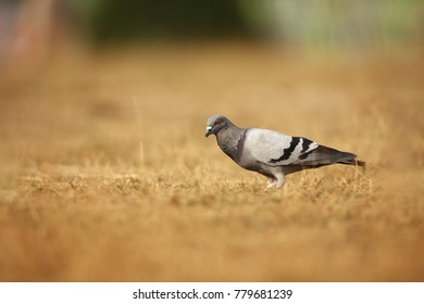 Columba livia. Wild nature of Czech. Bird on a meadow in nature. Nature of Europe.
