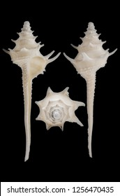 Columbarium Pagoda Pagoda sea shell. High definition focus stacked macro photograph on black background.  Caenogastropoda (Subclass) Neogastropoda (Order)  Columbariidae (Family)  Columbarium (Genu