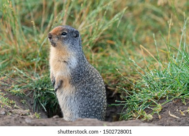 Columbia Ground Squirrel (Urocitellus columbianus) on a meadow after rain, Waterton Lakes National Park, Alberta, Canada