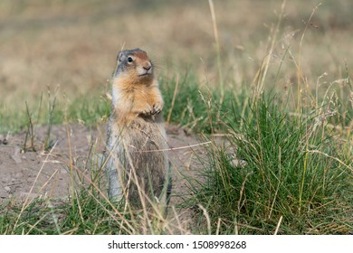 Columbia Ground Squirrel (Urocitellus columbianus) on a meadow, Waterton Lakes National Park, Alberta, Canada