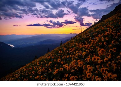 Columbia River Gorge from above. Hills covered with wildflowers. Arnica or Arrowleaf Balsamroot in alpine meadows. Spring in Oregon. Portland. Vancouver. USA
