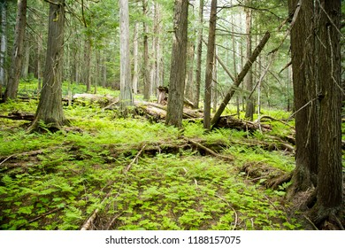 Columbia Shuswap Wood Ln Field/British Columbia/Canada - Jun 03 2018: Second Partial view of the forest on the Hemlock Grove Boardwalk