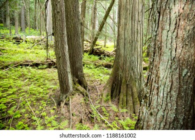 Columbia Shuswap Wood Ln Field/British Columbia/Canada - Jun 03 2018: Partial view of the forest on the Hemlock Grove Boardwalk