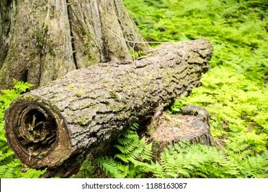 Columbia Shuswap Wood Ln Field/British Columbia/Canada - Jun 03 2018: First Partial view of rundown trees on the Hemlock Grove Boardwalk