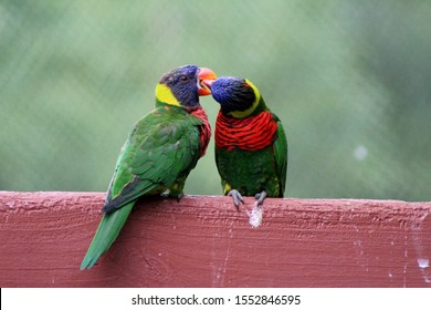 """Columbia, South Carolina/US - 10/26/2019: Rainbow Lorikeet birds at the Columbia SC Zoo."""