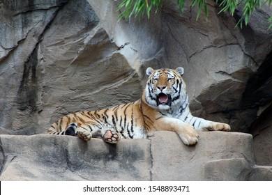 """""""Columbia, South Carolina/US -10/26/2019: A tiger at the Columbia SC  zoo."""""""