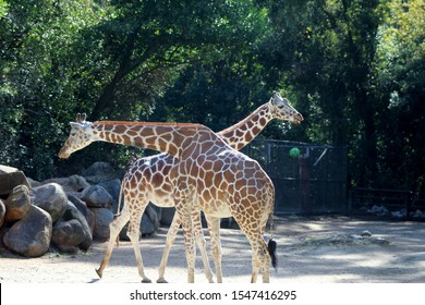 """""""Columbia, South Carolina/US - 10/26/2019:  Two giraffes at the Riverbanks Zoo and Garden in Columbia, SC."""""""