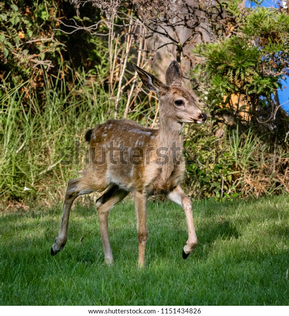 A Columbian Black-tailed deer fawn (Odocoileus hemionus) walks on the grass in the hills of Monterey, California. The black-tail is a type of mule deer of the Pacific Northwest.