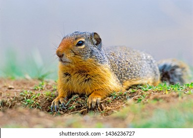 Columbian Ground Squirrel laying in grass at densite