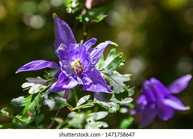 Columbine of the Alps  at Seyne les Alpes near Digne in Provence France.