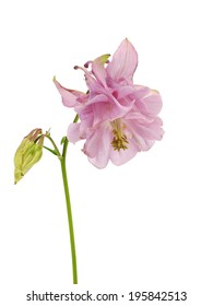 Columbine - aquilegia flowers on a white background