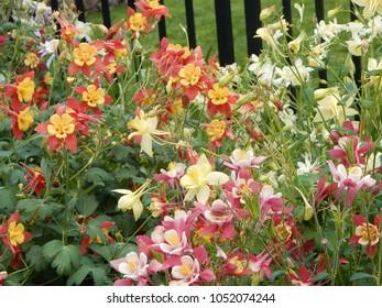 Columbine blooming in garden