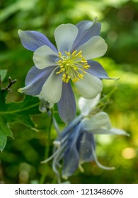 Columbine flower with blurred background, copy space.