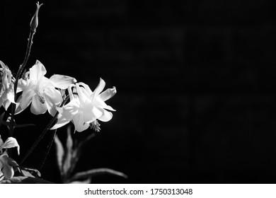 Columbine flowers with dark background