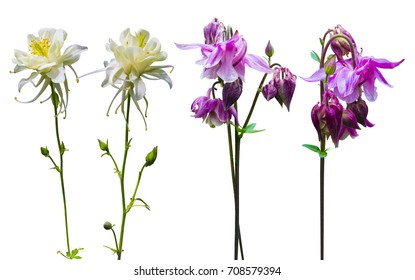 columbine flowers isolated on white background
