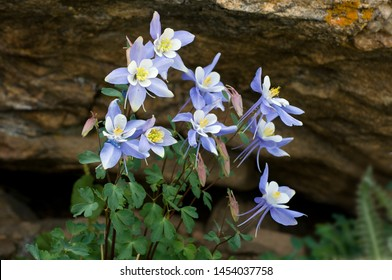 Columbine growing in the Colorado mountains.