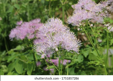 """""""Columbine Meadow Rue"""" flowers (or French Meadow Rue, Greater Meadow Rue, Rue Thundercloud) in St. Gallen, Switzerland. Thalictrum Aquilegifolium is native to Europe and Asia."""
