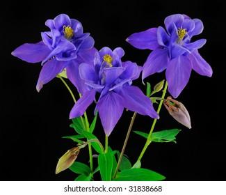 Columbines (Aquilegia) -  Ranunculaceae on black background