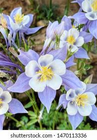 Columbines in Vail, Colorado, Colorado State Flower.