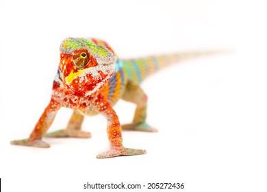 Colurful Chameleon