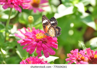 colurfull  flower with green leaves. Beautiful pink and purple flowers in nature around the house.Beautiful butterfly with flowers Butterfly sucked from fresh flowers in nature. In the garden.