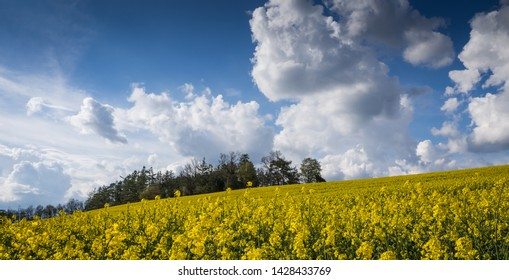 Colza field, blue sky, white clouds. Rapeseed (Brassica napus), also known as rape, oilseed rape, a bright-yellow flower, third-largest source of vegetable oil in the world.