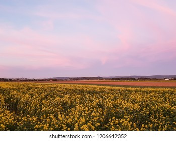 Colza field at the sunset, agriculture