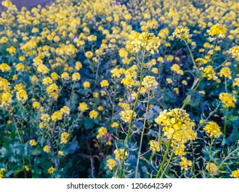 Colza field at the sunset, close up of a flower, agriculture
