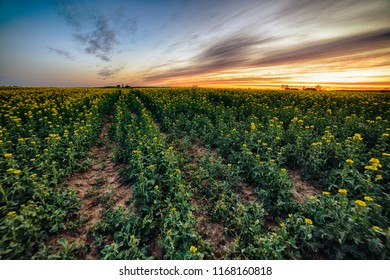 Colza fields landscape in the evening at the sunset in Poland