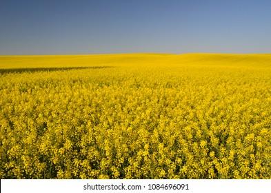 Colza fields near Cracow, Lesser Poland, Poland