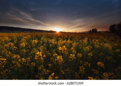 Colza fields at sunrise in Dallo, Alava