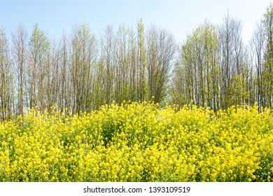 Colza flowers, rapeseed, and trees in the springtime in nature reserve The Vlietlanden in Voorschoten, The Netherlands.