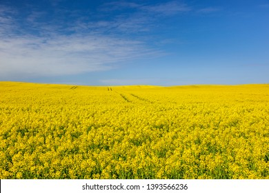 Colza - Polish agricultural landscape in the spring