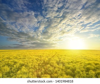 Colza rapeseed in field on blue sky