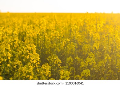 colza at sunset. detail of flowering rapeseed canola or colza, plant for green energy and oil industry.