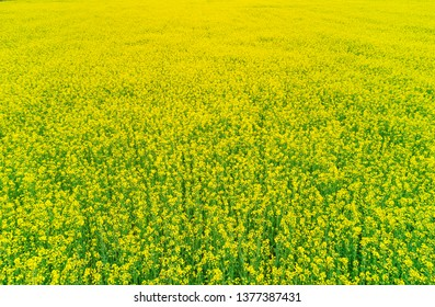 Colza yellow field aerial view background