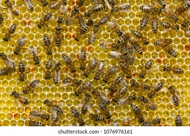 In comb contains nectar, honey and pollen.